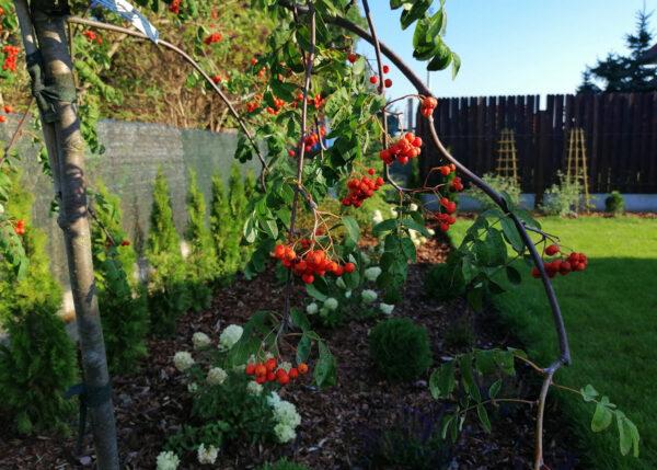 jarząb pendula w ogrodzie